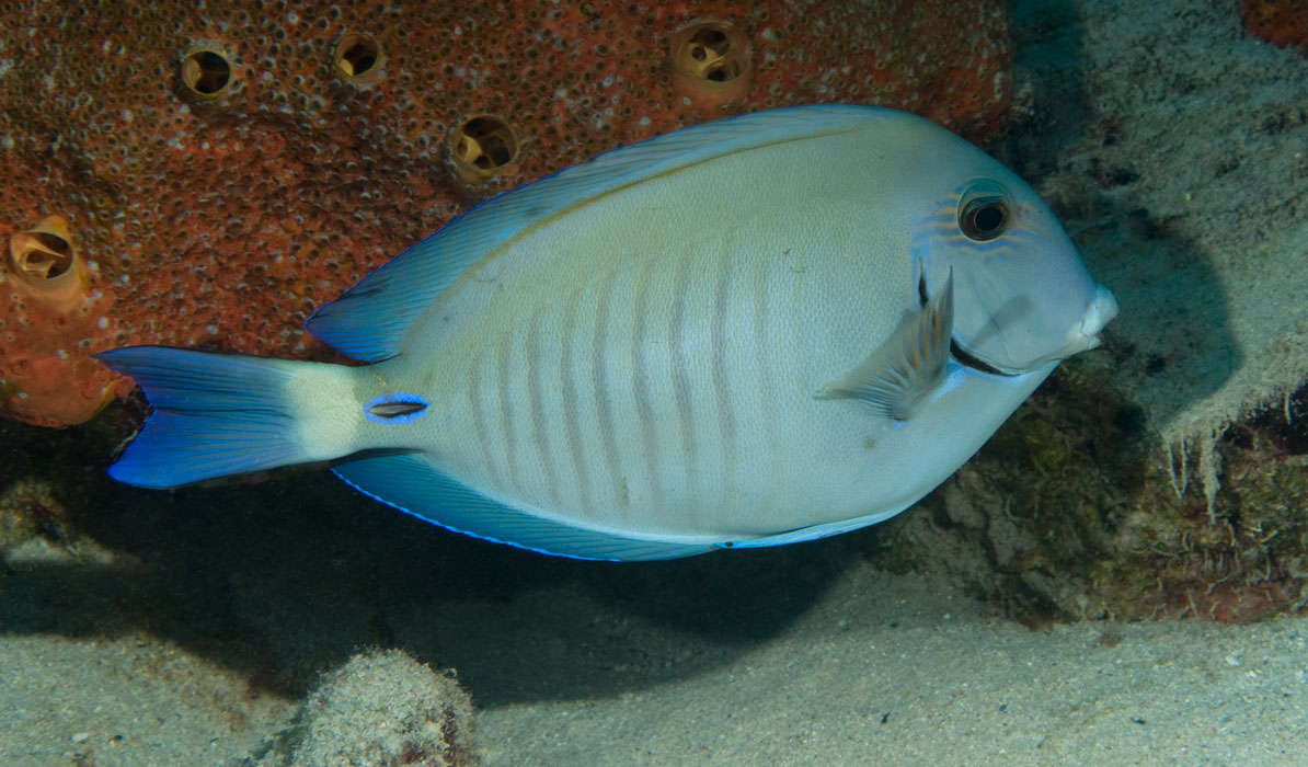 Doctorfish - photo#6