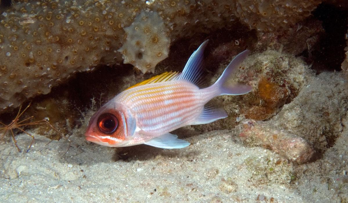 Reddish big eyes for Big eye squirrel fish