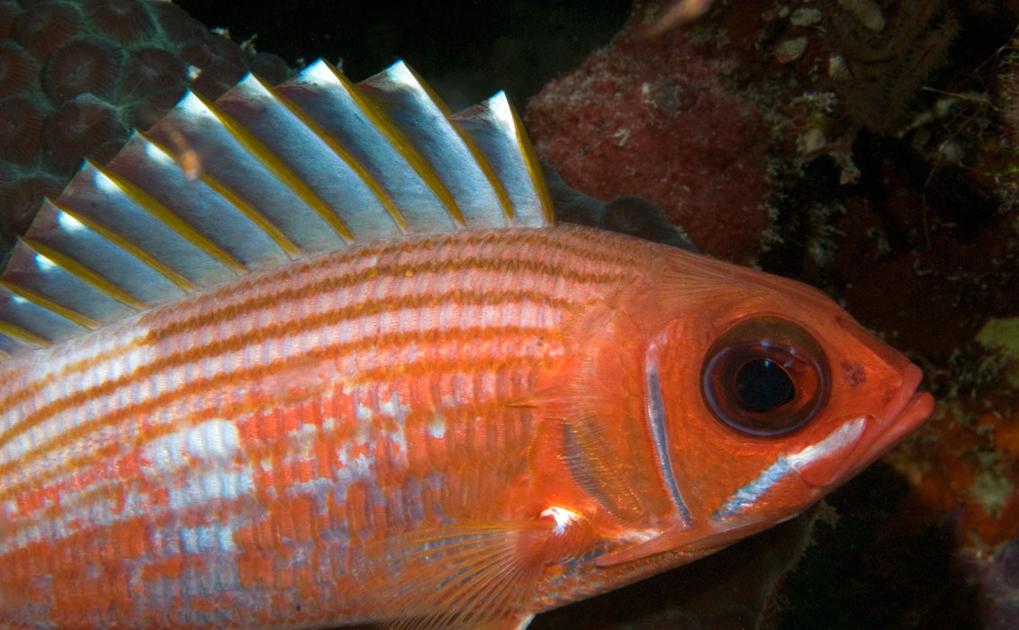 Longspine squirrelfish images for Big eye squirrel fish